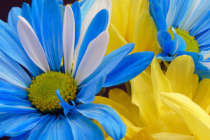 blue-yellow-flowers